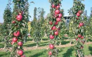 Подготовка к зиме колоновидных яблонь