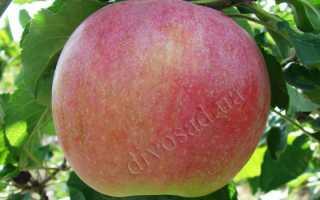 Яблоня Теремок — описание сорта, фото, отзывы