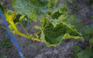 Кудрявые листья винограда – что опасно и как с этим бороться