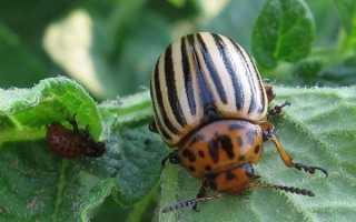 Чем обработать баклажаны от колорадского жука в период плодоношения?