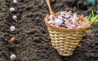 Можно ли сажать чеснок после картофеля под зиму?