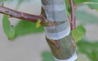 Сроки прививки груши весной