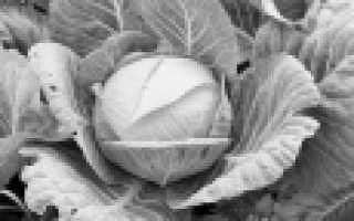Лучшие сорта капусты для Урала