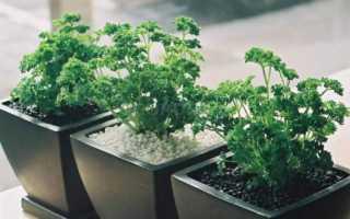 Выращивание петрушки на подоконнике зимой и летом: посадка, уход, условия
