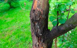 Черный рак у яблони — лечение