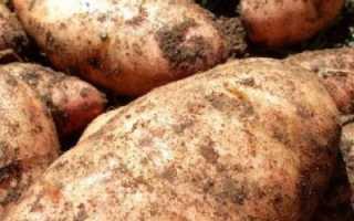 Сорта картофеля народной селекции