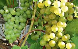 Виноград Кристалл: описание сорта, фото и отзывы садоводов
