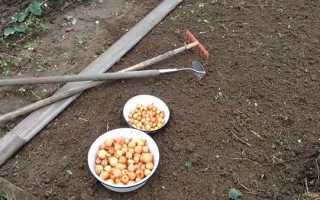 Сроки посадки озимого лука