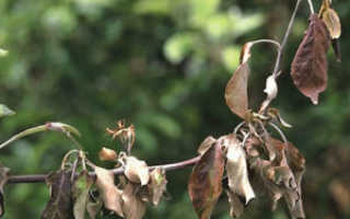 Листья на яблоне чернеют и скручиваются — что делать?