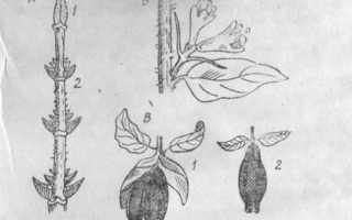 Жимолость Парабельская — описание сорта, отзывы и фото