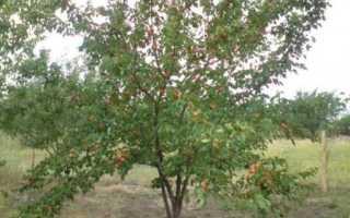 Как садить абрикос весной?