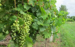 Как посадить виноград осенью черенками?