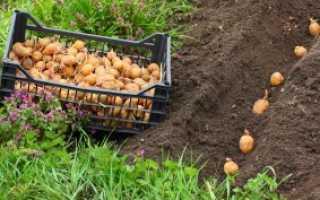 Какую лучше сажать картошку — мелкую или крупную?