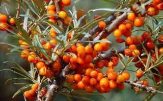 Облепиха Трофимовская — описание сорта, фото и отзывы садоводов