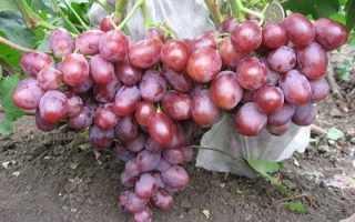 Виноград Фавор: описание сорта, фото и отзывы садоводов