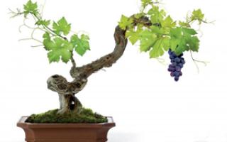 Лучшие сорта винограда для Воронежской области