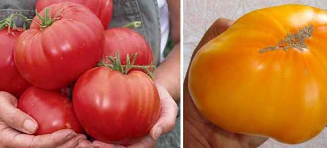 Самые урожайные сорта томатов сибирской селекции