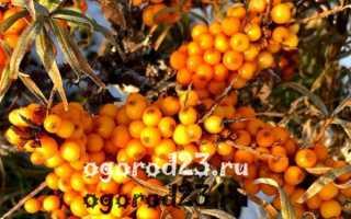 Облепиха — многолетнее или однолетнее растение?