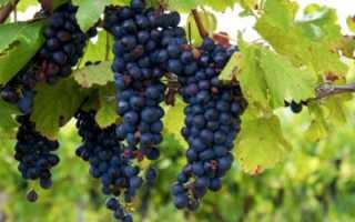 Когда собирать виноград?