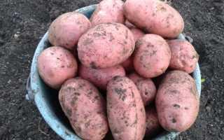 Картофель Ред Фэнтези — описание сорта, фото, отзывы, посадка и уход