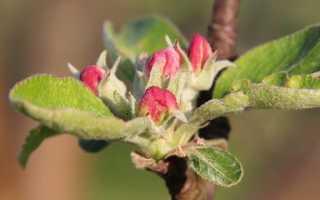 Как правильно привить яблоню весной?