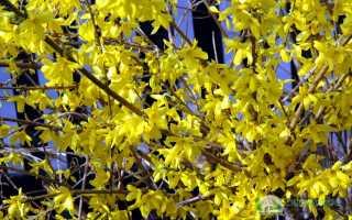 Форзиция средне-желтая – посадка и уход; Жизнь садовника