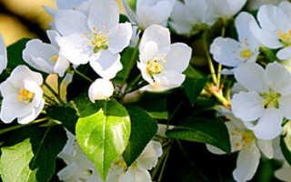 Нужно ли обрывать первые цветы у яблони?