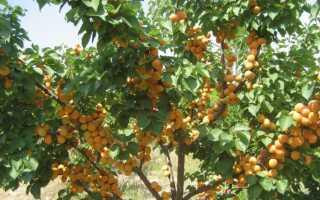 Обрезка абрикоса: когда и как правильно ее делать
