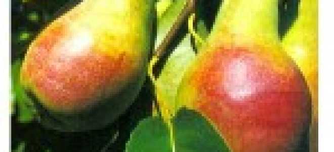Сорта груш для Украины — фото с названием и описанием