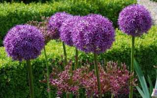 Луковичные цветы для дачи (40 фото): названия многолетников