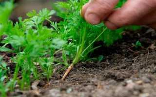 Как проредить морковь правильно?