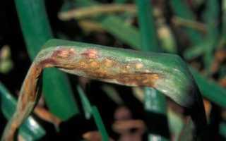 Болезни лука: описание и лечение, в том числе как обрабатывать посадочный материал для профилактики болезней