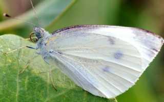 Как избавиться от бабочек на капусте?