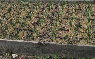 Озимый чеснок — посадка и уход в открытом грунте