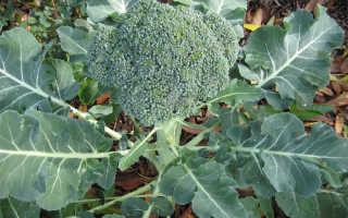 Как растет капуста брокколи?
