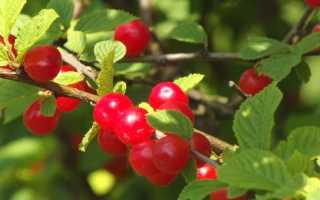 Вишня войлочная — описание сорта, фото, отзывы садоводов