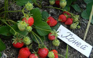 Земляника Хоней: выращивание, описание сорта, фото и отзывы