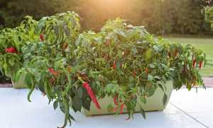 Как вырастить острый перец из семян в домашних условиях?