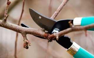 Омоложение взрослого дерева абрикоса