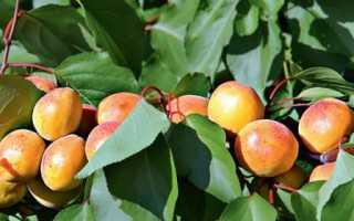 Обзор и выращивание лучших морозостойких сортов абрикоса