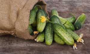 Сорта огурцов для Ленинградской области для теплиц и открытого грунта