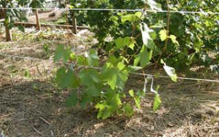 Посадка и уход за виноградом в Вологодской области