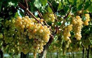 Размножение винограда осенью черенками
