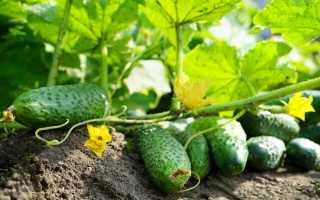 Какие огурцы самые урожайные для открытого грунта?