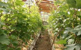 Выращивание винограда в теплице из поликарбоната