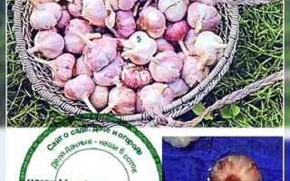 Сроки посадки озимого чеснока в Алтайском крае