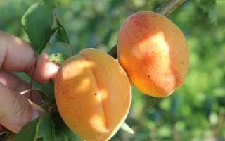 Выращивание урожайного ананасного абрикоса Шалах