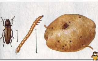 Препараты от проволочника на картошке