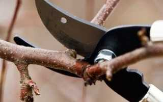 Как правильно обрезать абрикос в разное время года