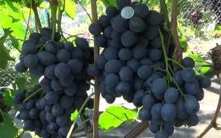 Виноград Сфинкс: описание сорта, фото и отзывы садоводов